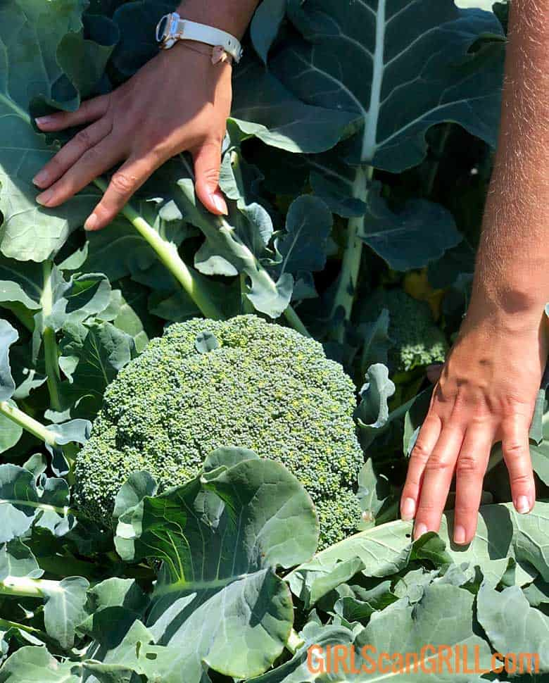 hands separate broccoli plant to reveal vegetable